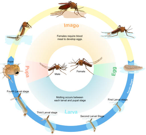 what is the mosquito life cycle?