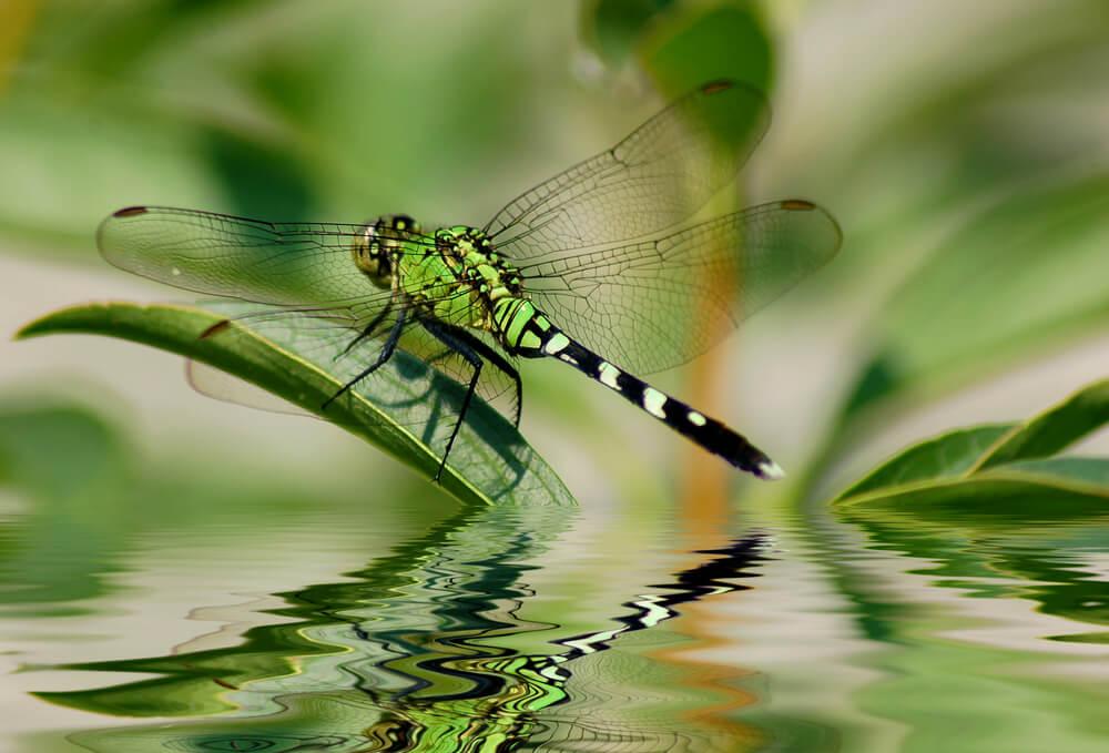 Do drogonflies eat mosquitoes