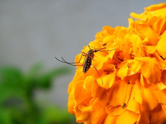 mosquito feeding on nectar