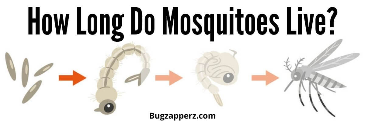 how long does a mosquito live
